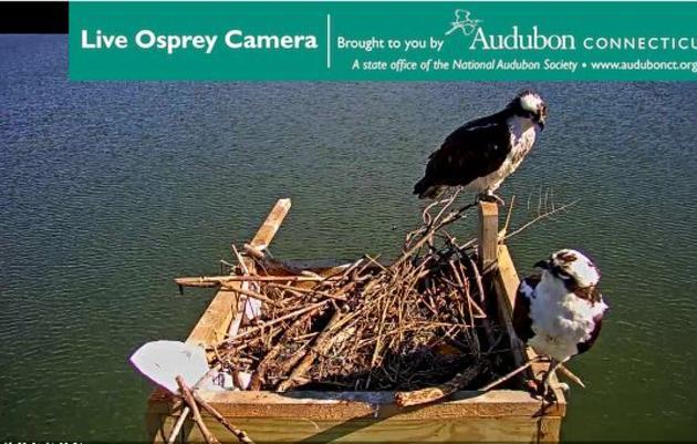 Live Osprey Cam