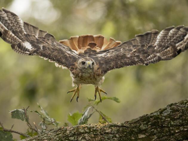 Hawk Week 2020