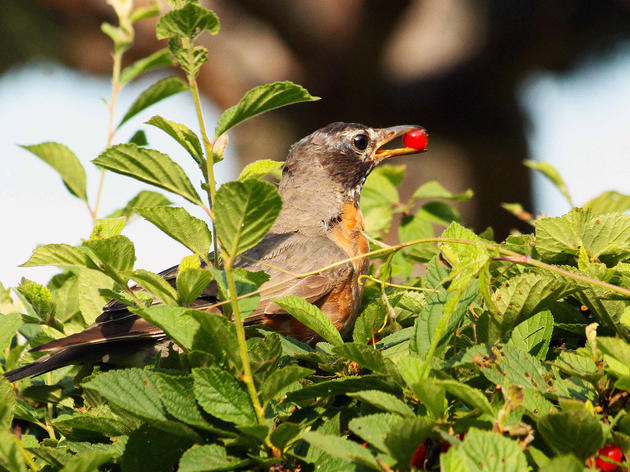 Native Shrubs for Birds