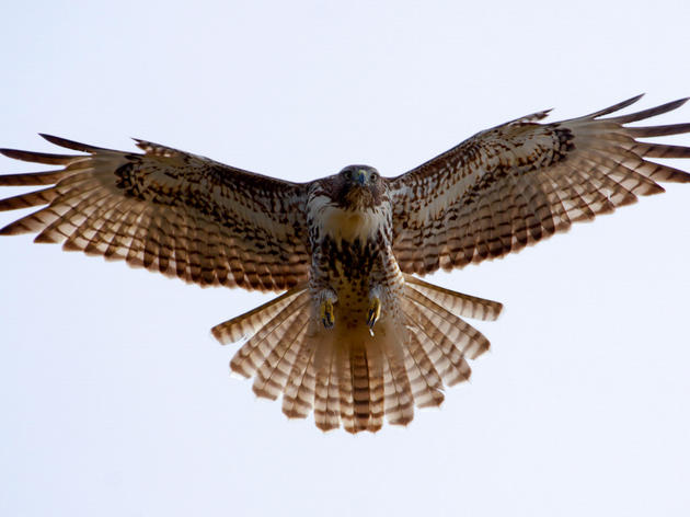 Quaker Ridge Hawk Watch
