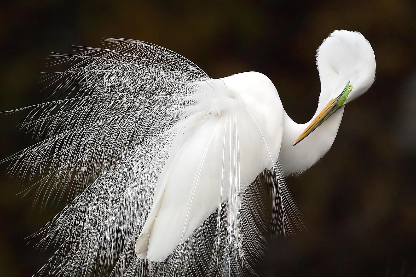 Melissa Groo Great Egret Photo